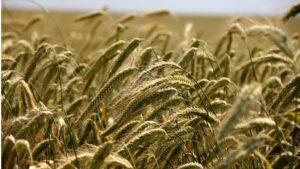 agricultura centeno campo cereales