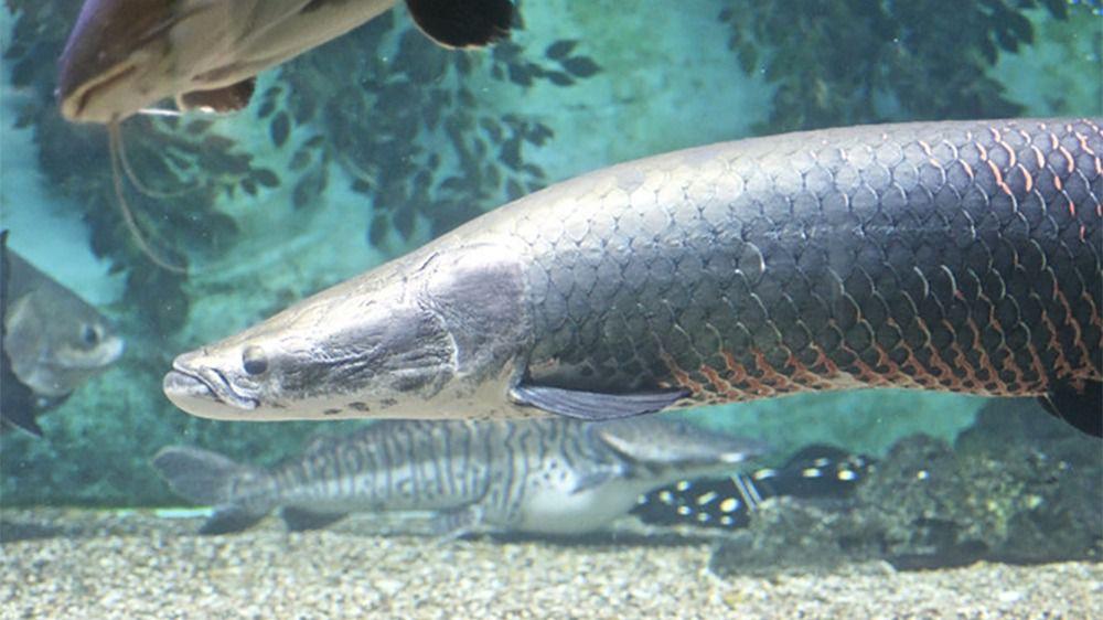El 37 % de los peces de agua dulce de Australia están amenazados de extinción