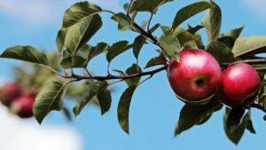 Manzanas fruta arbol