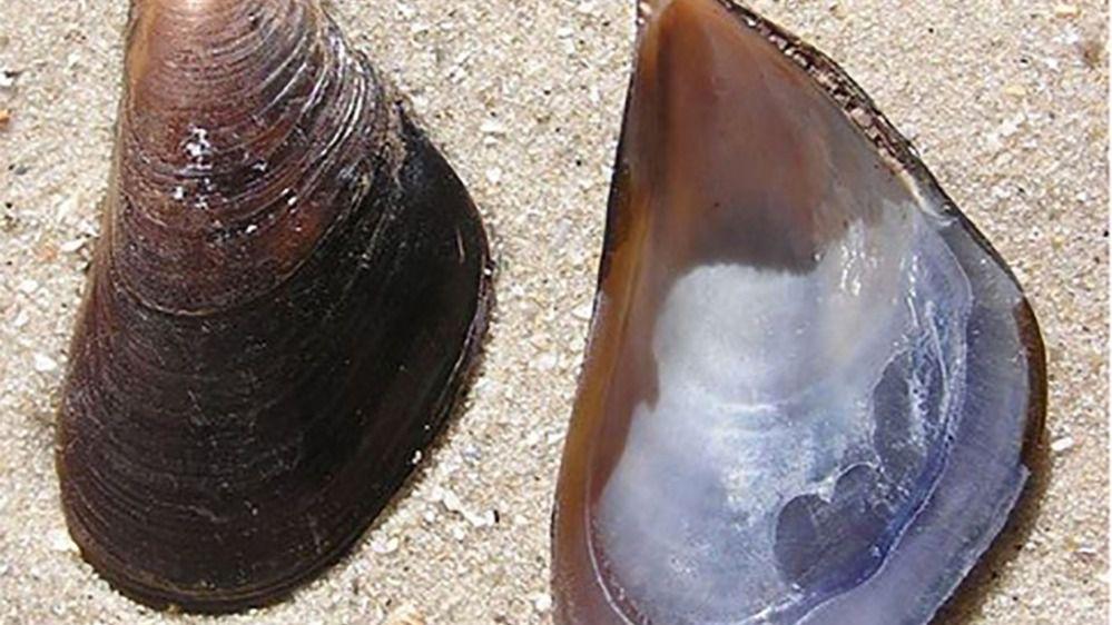 Mejillón mediterráneo (Mytilus galloprovincialis), una de las especies invasoras en la Antártida