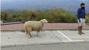 Denunciado por sacar a pasear una oveja durante el estado de alarma