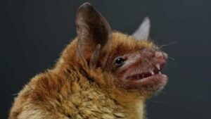 Imagen de archivo de un murciélago de herradura