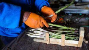 Un agricultor separa en diferentes paquetes espárragos