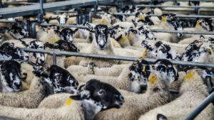 ovejas granja alimentacion