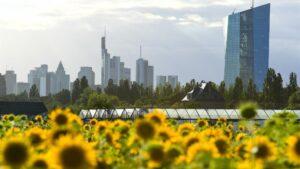 Girasoles en las inmediaciones de Frankfurt