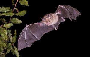 El murciélago grande de herradura (Rhinolophus ferrumequinum) podría albergar 68 nuevos coronavirus a largo plazo, según el nuevo estudio. / Adobe Stock