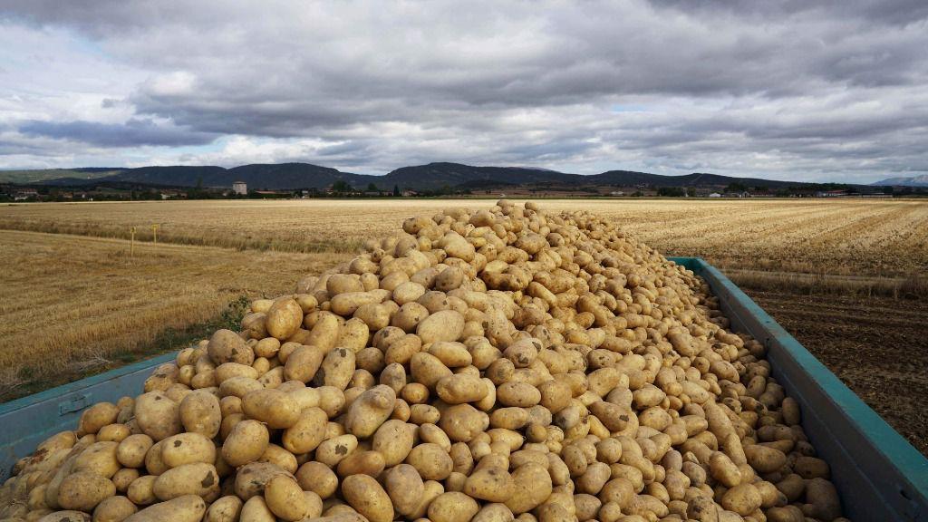 Campo de patata en Álava
