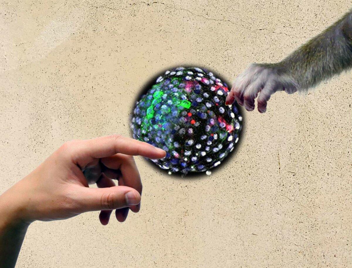 Referencia a 'la creación de Adán', de Michelangelo. La imagen muestra una mano humana y una mano de mono que se acercan a un blastocisto humano-mono de quimera. / Ivan D. Gromicho (KAUST)