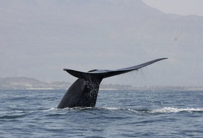 Una ballena azul del noroeste del Océano Índico se lanza a bucear en la costa del Mar Arábigo de Omán. - ROBERT BALDWIN/ENVIRONMENT SOCIETY OF OMAN