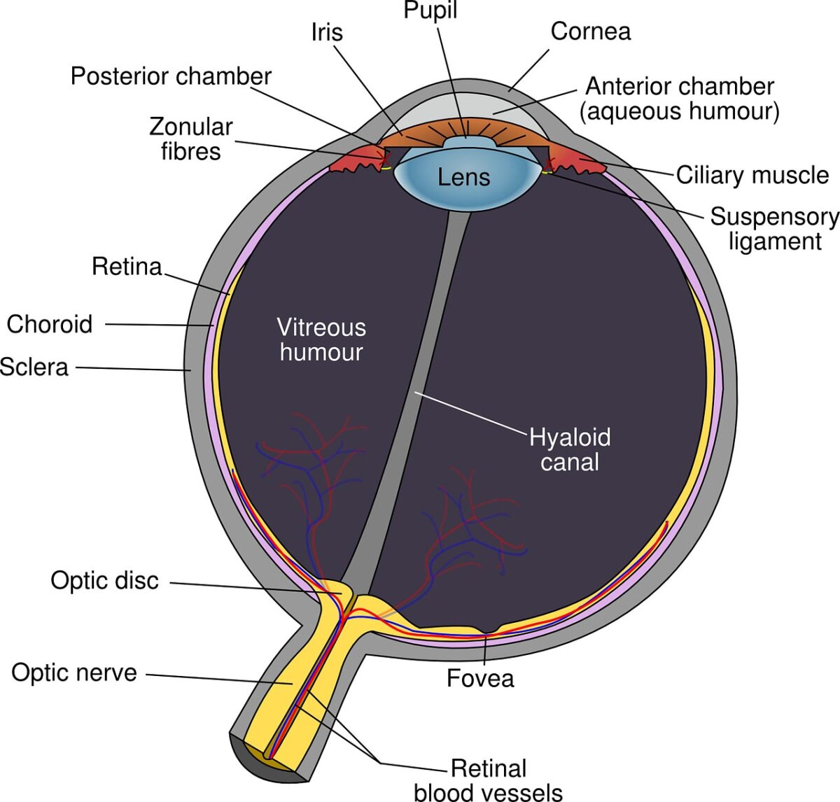 Esquema del ojo