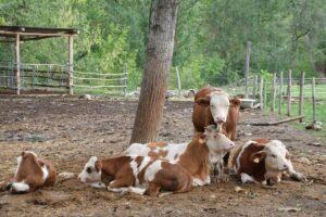 En la huerta regenerativa las vacas pastan cada día en una parcela de pasto diferente y tardan un tiempo en volver a esa zona, para no estropear las plantas con el pisoteo/ CREAF