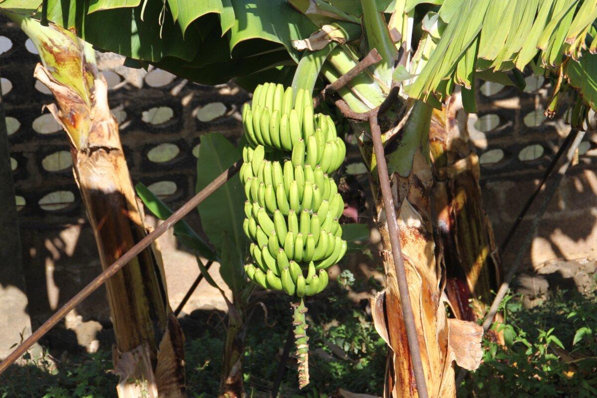 El Gobierno de Canarias convoca la ayuda 141,1 millones a los productores de plátano con IGP - CEDIDO POR GOBIERNO DE CANARIAS